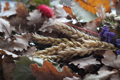 Orthodox Christmas. Badnjak, oak branch with wheat, mark of Orthodox Christmas Stock Image