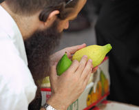 An orthodox Jew  picks citrus before the Sukkot. Bnei Brak - September 22: An orthodox Jew in black hat picks citrus before the holiday of Sukkot September 22 Stock Photos