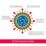 Orthomyxoviridae Classification des virus Photo stock