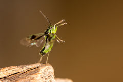 Orthops campestris bug about to take flight Stock Photography