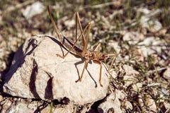 Orthoptères d'insectes de sauterelle dans le sauvage pendant l'élevage s Photographie stock