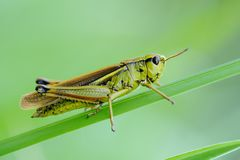 Orthoptera Royalty Free Stock Images