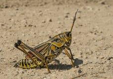 Orthoptera Zdjęcia Stock