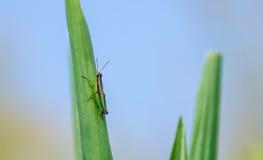 Orthoptera on corn leaf Stock Image
