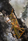 Orthoptera Royalty Free Stock Photo