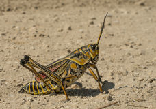 Orthoptera Stock Photos