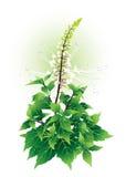 Orthosiphon aristatus Royaltyfria Bilder