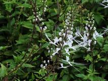 Orthosiphon aristatus eller växt för morrhår för katt` s Arkivfoton