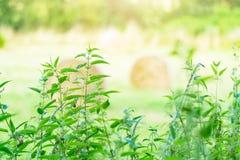 Ortica che cresce vicino al campo, pianta medicinale immagine stock