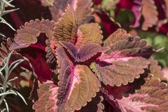 Ortica coleus blumei leaf. In the garden Royalty Free Stock Image
