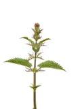 Ortica di fioritura Immagini Stock