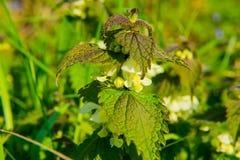 Ortica di fioritura selvaggia in primavera, luce solare, macro fotografie stock libere da diritti