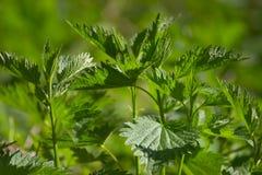 Ortica verde Fotografia Stock Libera da Diritti