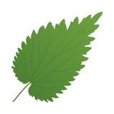 Ortica verde della foglia Immagini Stock