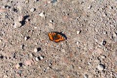 Orticaria della farfalla Immagine Stock