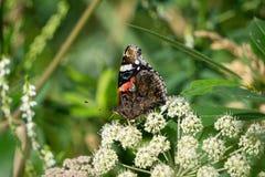 Orticaria della farfalla su una flora bianca di giorno del fondo royalty illustrazione gratis