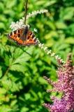 Orticaria della farfalla sul fiore Fotografia Stock