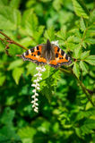 Orticaria della farfalla sul fiore Immagini Stock Libere da Diritti