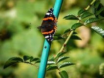 Orticaria della farfalla sul fiore Fotografia Stock Libera da Diritti