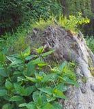 Ortiche ed erba che crescono per il ceppo morto fotografia stock libera da diritti