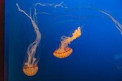 Ortiche sudamericane del mare in Omaha Henry Doorly Zoo immagini stock libere da diritti