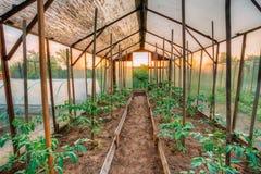 Orticoltura dei pomodori nei letti alzati in orto A Immagini Stock