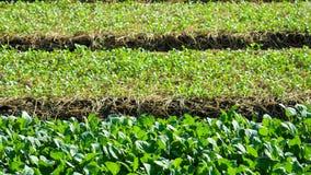 Orticoltura del cavolo cinese dalla terra nel giardino fotografia stock libera da diritti
