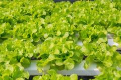 Orticoltura della lattuga fresca dell'insalata verde in tubo di plastica nella H Fotografia Stock