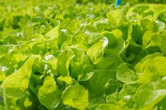Orticoltura della lattuga fresca dell'insalata verde in tubo di plastica nella H Immagini Stock