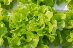 Orticoltura della lattuga fresca dell'insalata verde in tubo di plastica nella H Immagine Stock Libera da Diritti