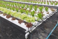 orticoltura della lattuga idroponica nell'azienda agricola di agricoltura Immagini Stock