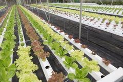 orticoltura della lattuga idroponica nell'azienda agricola di agricoltura Fotografia Stock Libera da Diritti