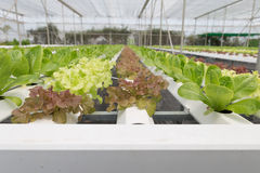 orticoltura della lattuga idroponica nell'azienda agricola di agricoltura Fotografie Stock