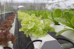 orticoltura della lattuga idroponica nell'azienda agricola di agricoltura Fotografia Stock