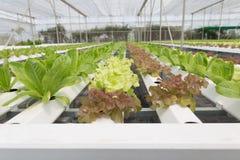 orticoltura della lattuga idroponica nell'azienda agricola di agricoltura Immagine Stock Libera da Diritti