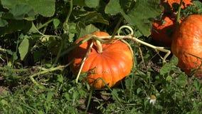 Orticoltura della zucca nella piantagione dell'azienda agricola dell'alimento biologico Zoom fuori 4K video d archivio