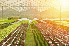 Orticoltura idroponica nella serra, effetto caldo di tono dell'alimento di concetto pulito di cibo Fotografie Stock