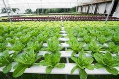 Orticoltura idroponica nella serra, non toxi Fotografia Stock