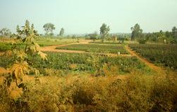 Orticoltura in India Piantatura dei pomodori Fotografie Stock Libere da Diritti