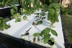 orticoltura nell'azienda agricola di coltura idroponica con il solenoide liquido del fertilizzante Immagini Stock Libere da Diritti