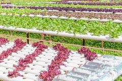 Orticoltura variopinta dell'insalata nel giardino all'aperto Immagine Stock Libera da Diritti