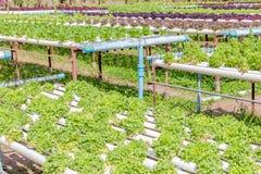 Orticoltura variopinta dell'insalata nel giardino all'aperto Fotografie Stock