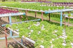 Orticoltura variopinta dell'insalata nel giardino all'aperto verdura, h Fotografia Stock