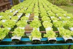 Orticoltura verde nella scuola materna, agricoltura di coltura idroponica Fotografia Stock