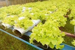 Orticoltura verde nella scuola materna, agricoltura di coltura idroponica Immagine Stock