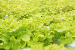 Orticoltura verde nella scuola materna, agricoltura di coltura idroponica Immagini Stock Libere da Diritti