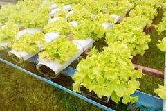 Orticoltura verde nella scuola materna, agricoltura di coltura idroponica Immagini Stock