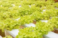 Orticoltura verde nella scuola materna, agricoltura di coltura idroponica Fotografie Stock Libere da Diritti