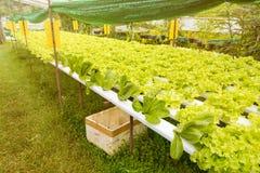 Orticoltura verde nella scuola materna, agricoltura di coltura idroponica Fotografie Stock