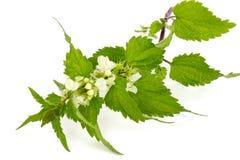 Ortie cuisante de floraison image libre de droits